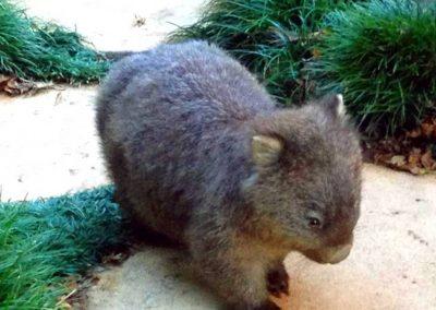 baby-wombat